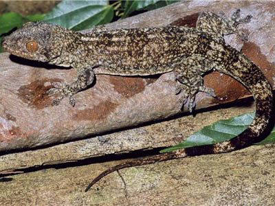 Madagascar Destination - Gecko